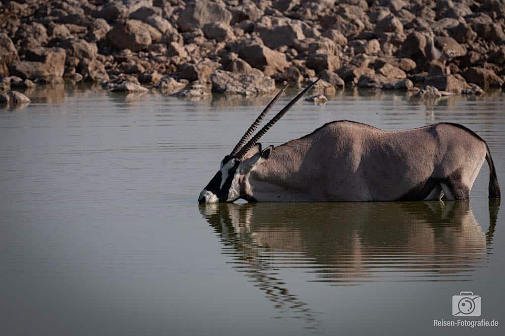 Oryx beim Vollbad