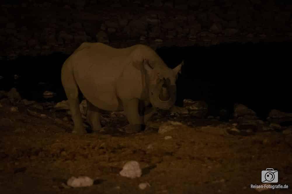Eines der drei Nashörner hat sich ein wenig in den Lichtkegel getraut