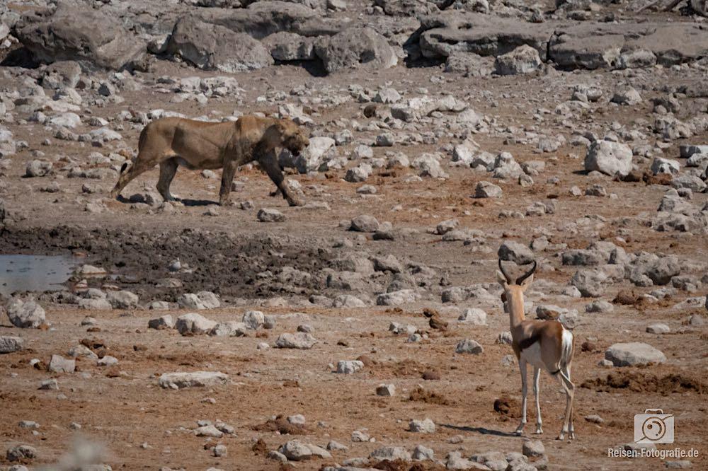 Springbock - schaute doch eher ängstlich zur Löwin