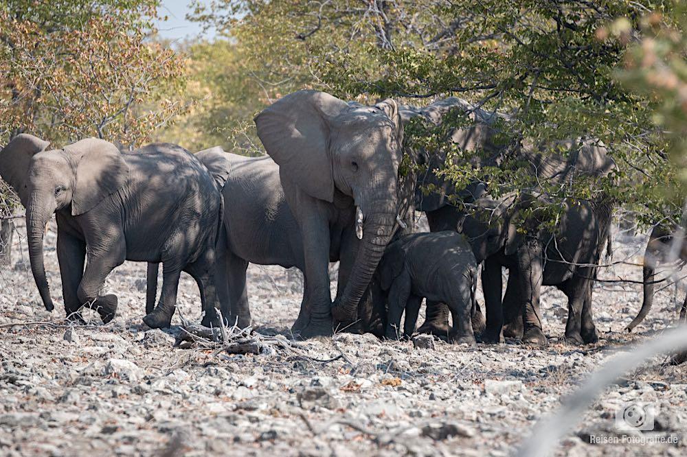Elefantenfamilie im Busch