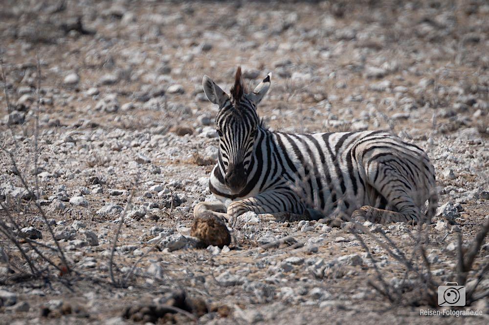 Faules Zebra