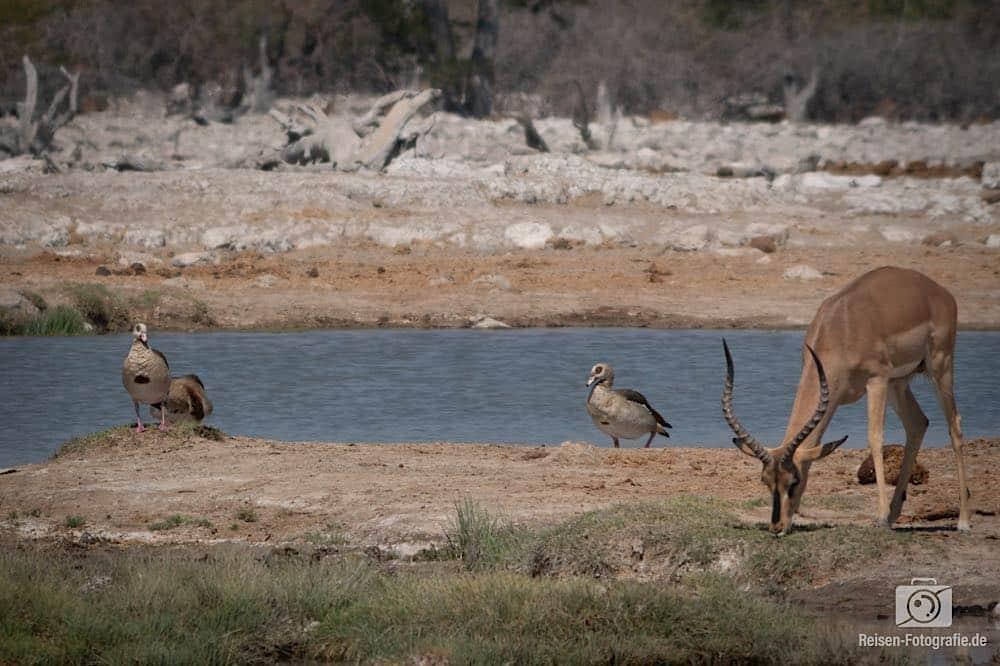 Impala und Nilgänse