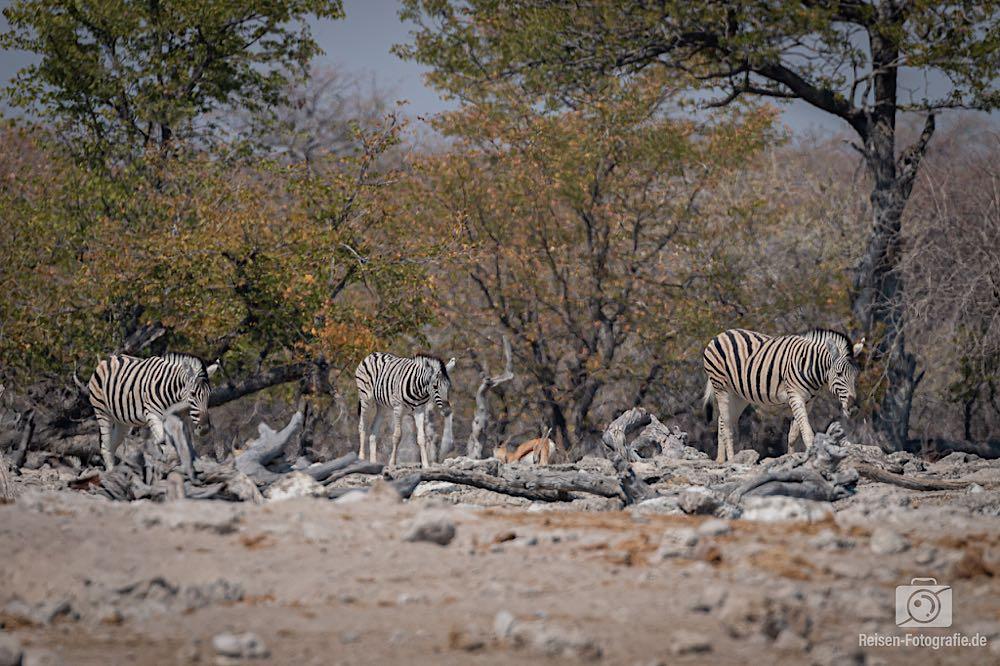 Die durstige Zebra-Parade