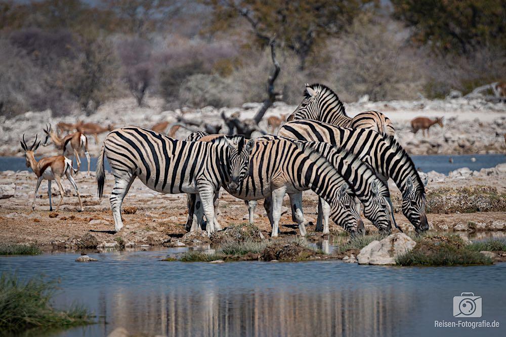 Zebras am Wasser