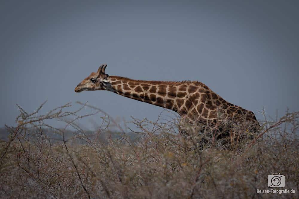 Die erste von sehr vielen Giraffen an dem Tag