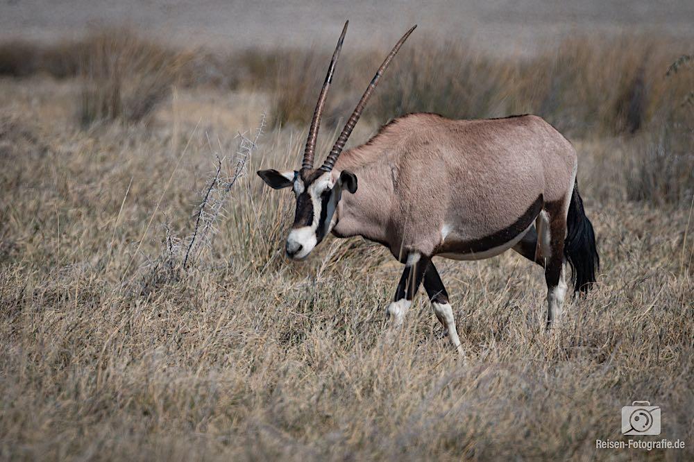 Das obligatorische Oryx Foto des Tages - die sind aber auch hübsch