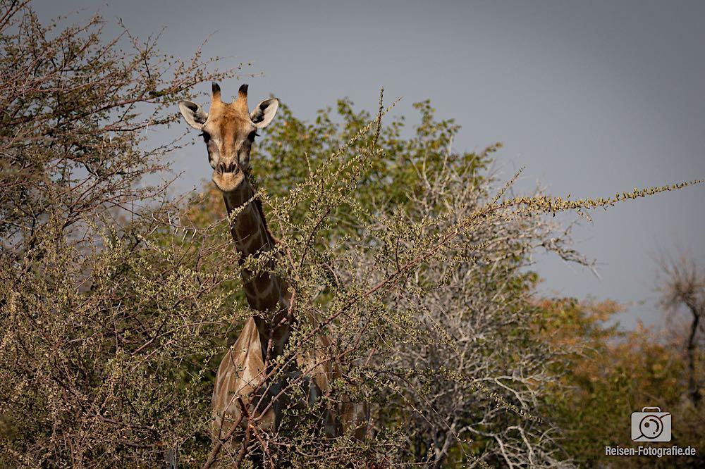 Giraffe - Huhu?