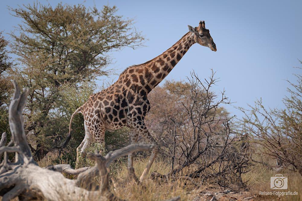 Giraffe - helles Muster