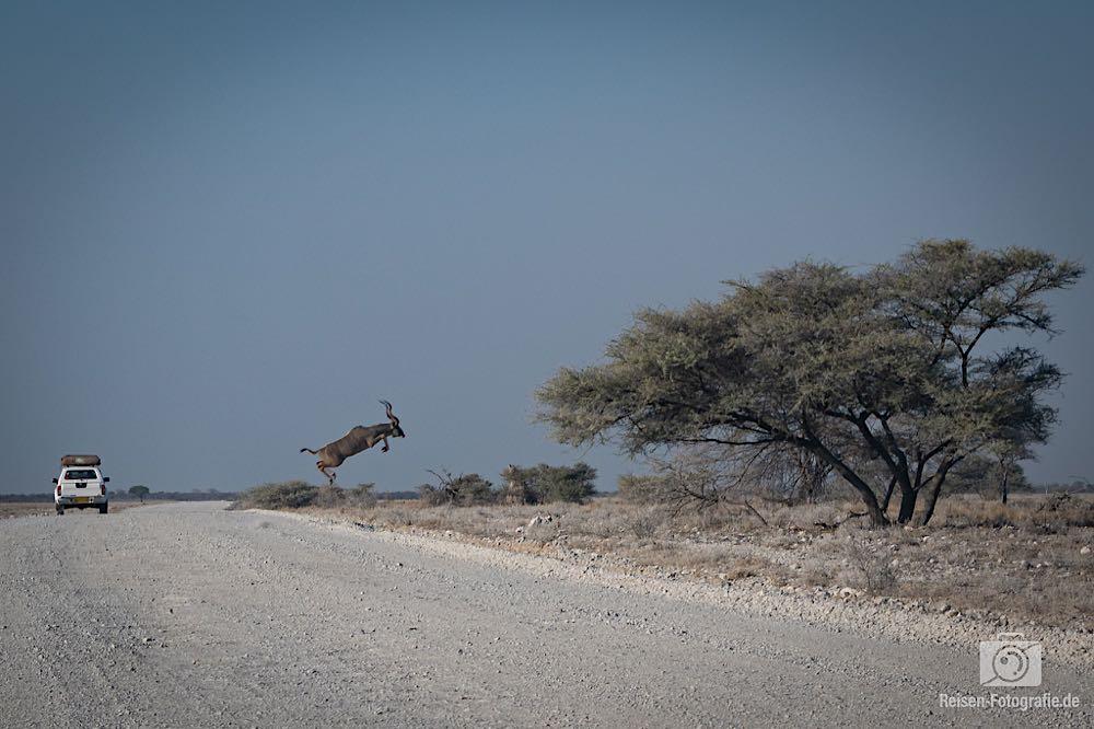 Spingender Kudu - da hat Melanie genau im richtigen Moment abgedrückt
