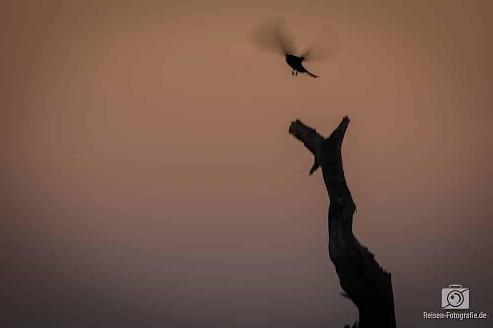 Vogel beim Start im Sonnenuntergang - keine Ahnung was das für einer ist