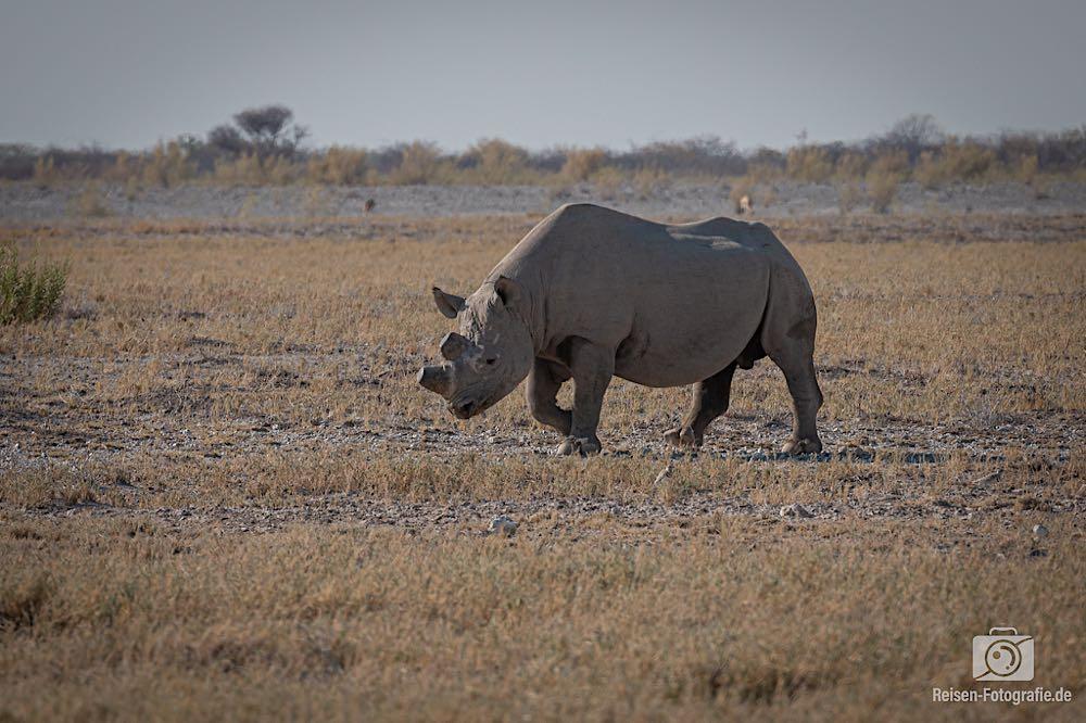 Achtung - kreuzendes Nashorn von rechts