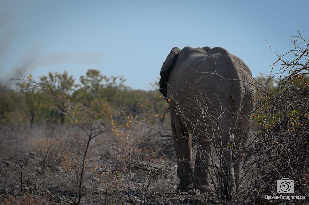 Der erste Elefant des Tages