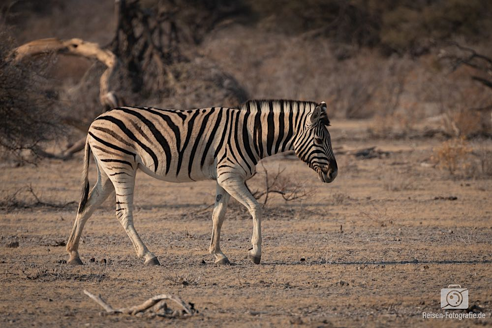 Eines von vielen Zebras, die an dem Tag folgen sollten