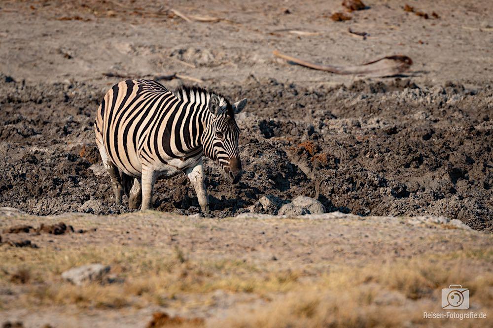 Zebra im schlammigen Wasserloch Twee Palms