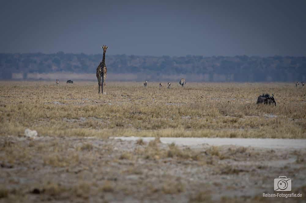 Einzelne Giraffe im Anmarsch - zum Glück waren keine anderen Touris da, die die vertreiben konnte. Sie brauchte noch rund 30 Minuten, bis sie am Wasser ankam.
