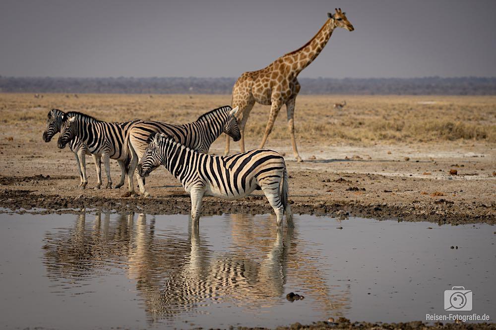 Zebras und Giraffe