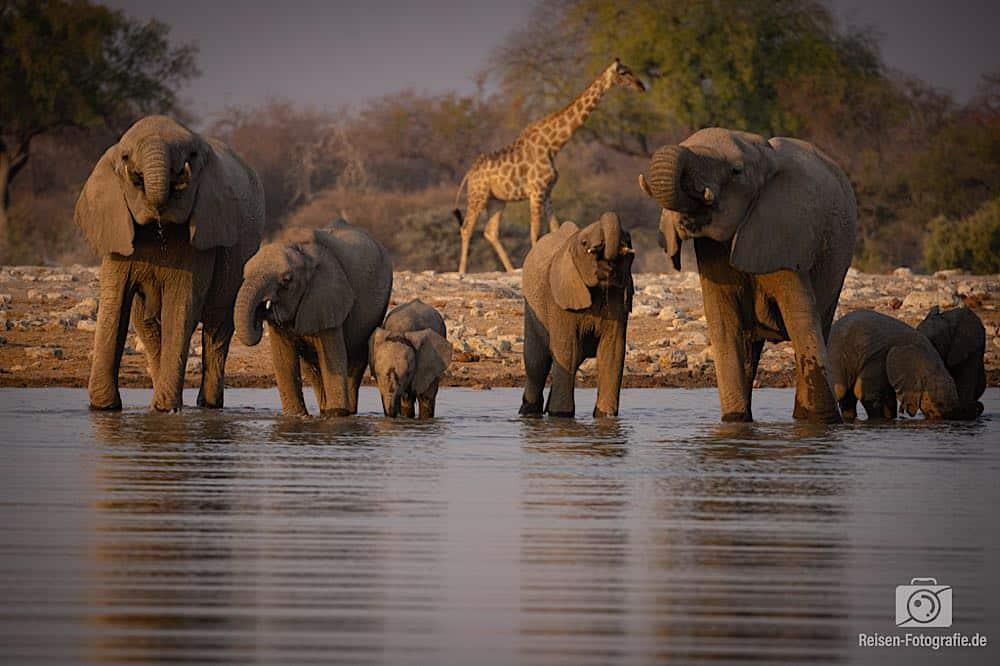 Die Giraffen, es wurden mehr, hielten sich im Hintergrund