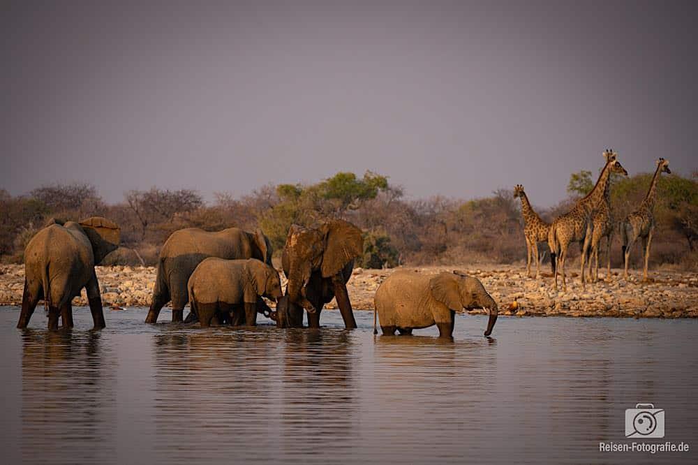 Elefanten und Giraffen