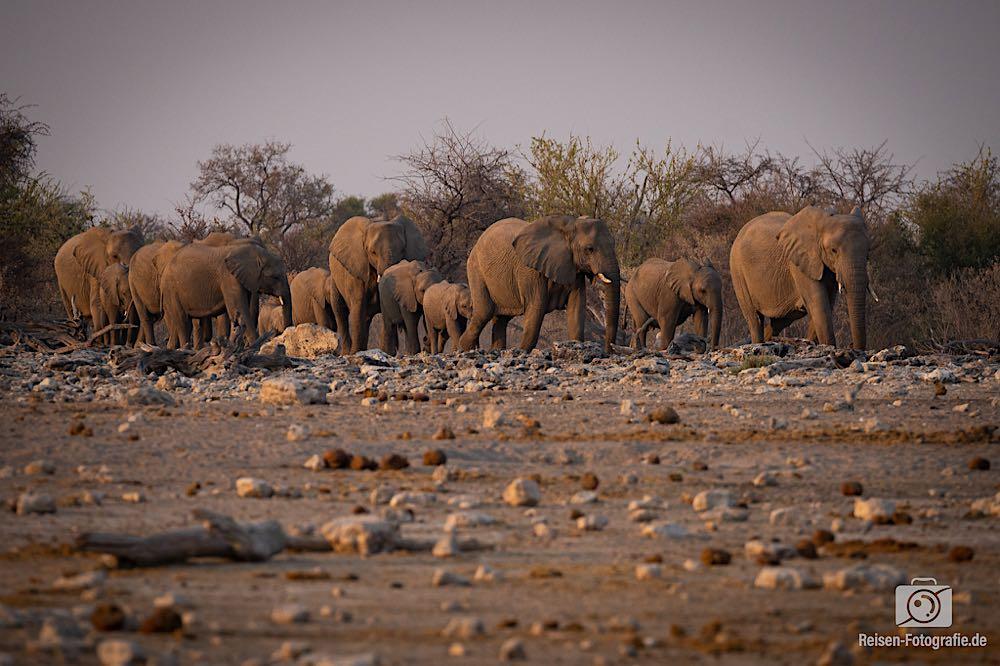 Elefanten-Großfamilie B betritt die Bühne, ebenfalls lautlos