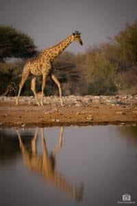 Giraffe mit Spiegelung