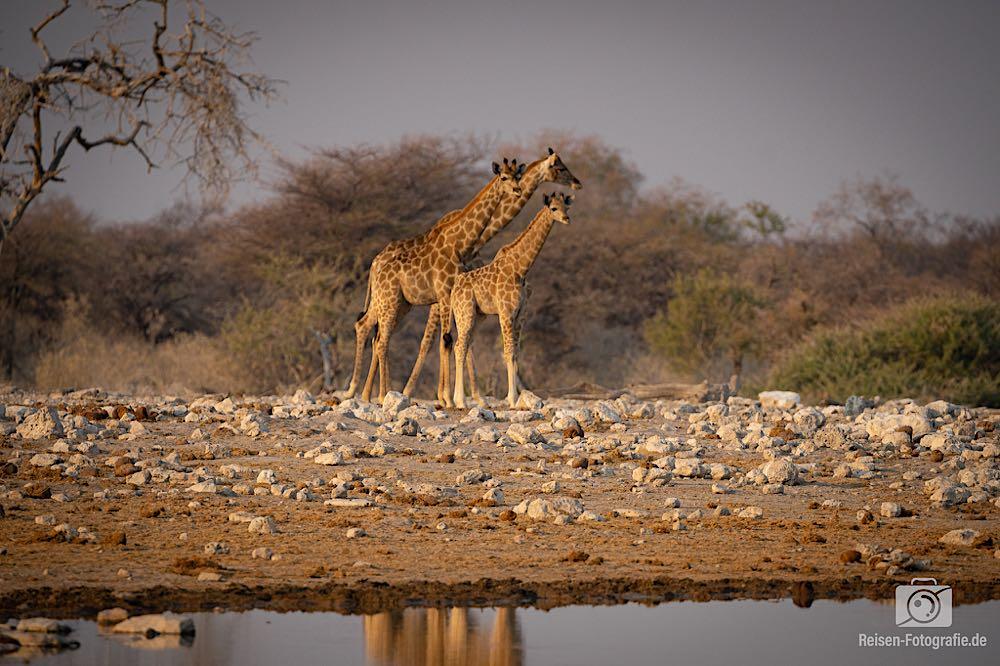Zögernde Giraffen