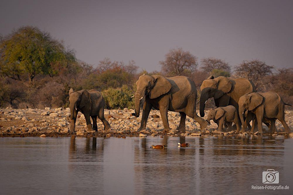 Elefanten Familie A kommt am Wasserloch an