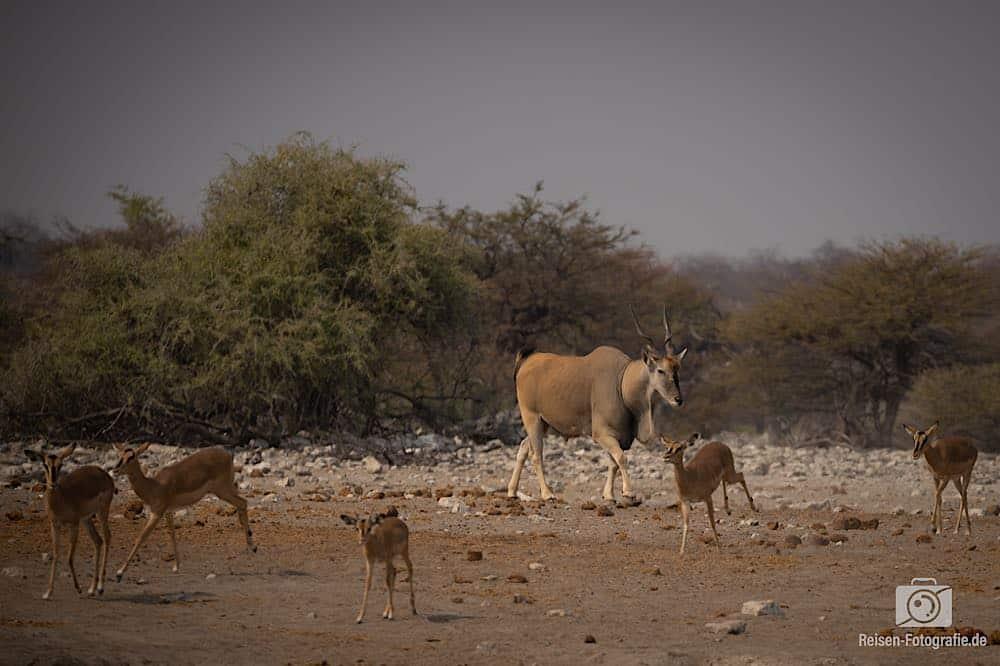 Eland und Impalas