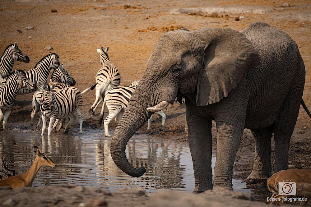 Elefant und Zebras
