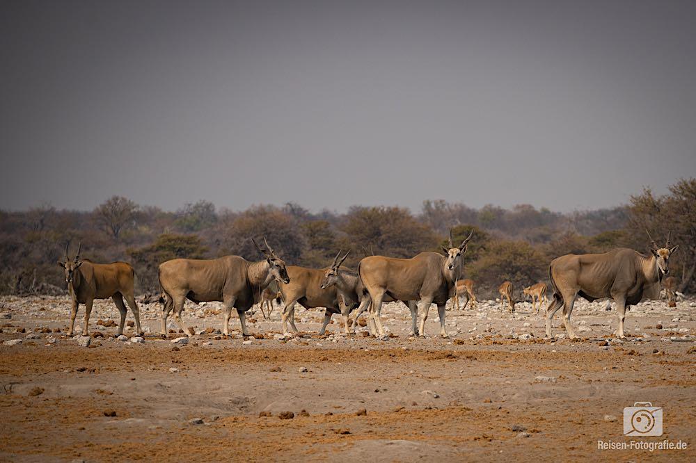 Eine Herde Elands