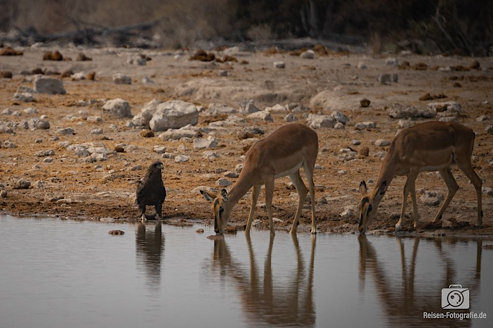 Impalas und Adler