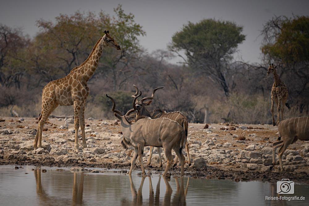 Giraffen und Kudus