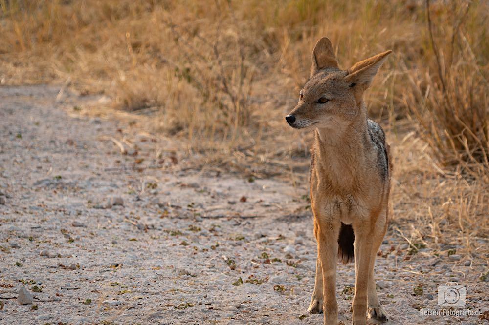 Schakal - noch im Namutoni Camp - der hatte irgendwo den Weg hinein gefunden