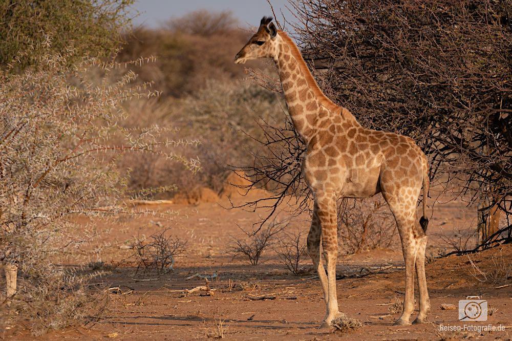 Giraffen Nachwuchs