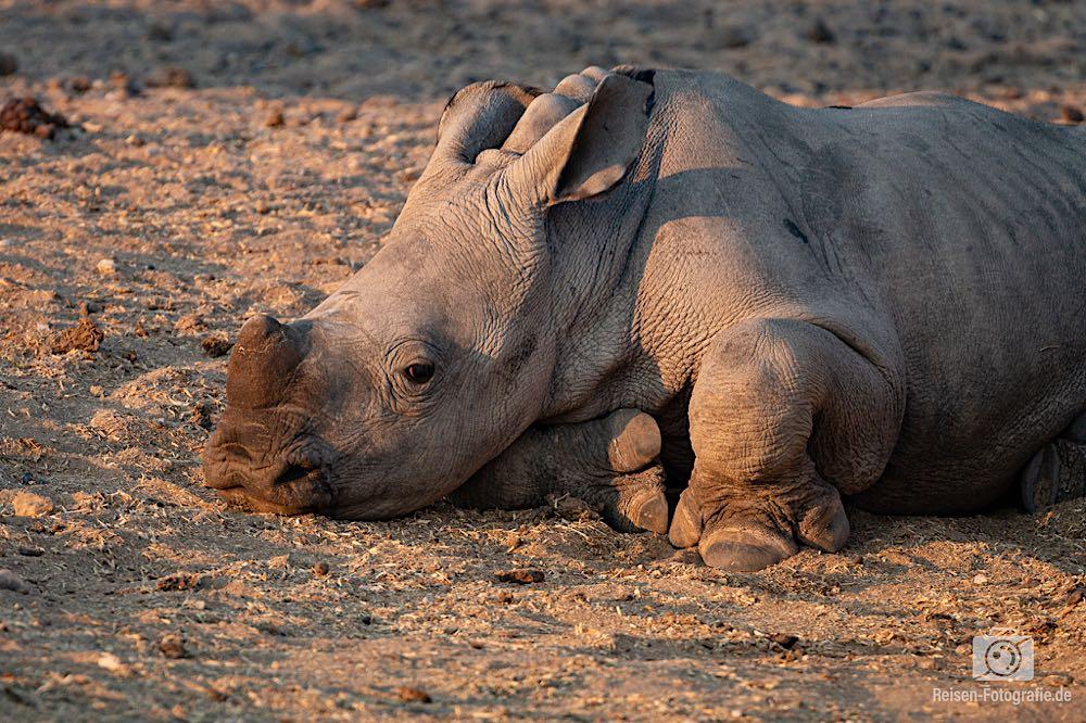 Das jüngste Nashorn auf der Farm