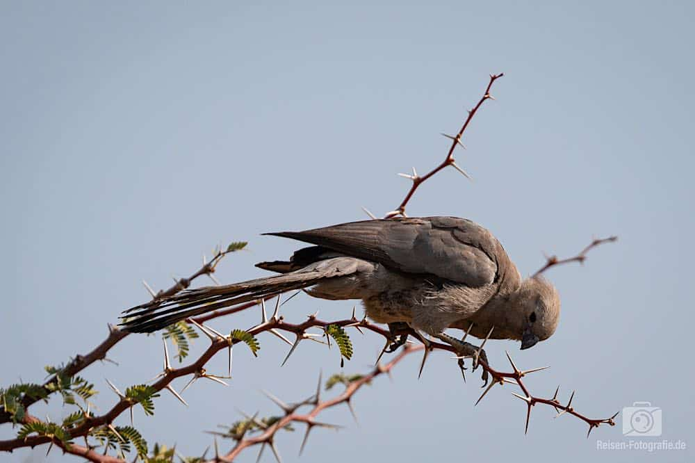Graulärmvogel