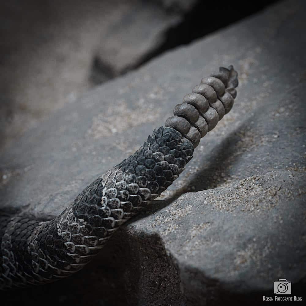Klapper der Klapperschlange