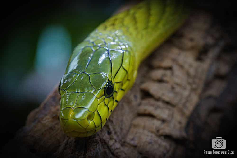Grüne Mamba - sehr nah