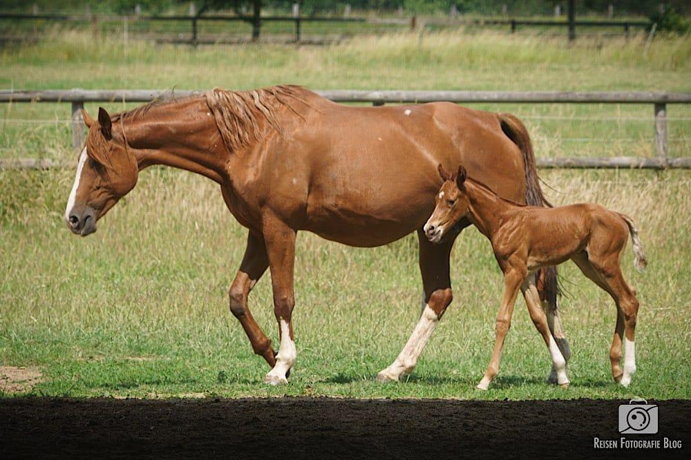 Pferdenachwuchs