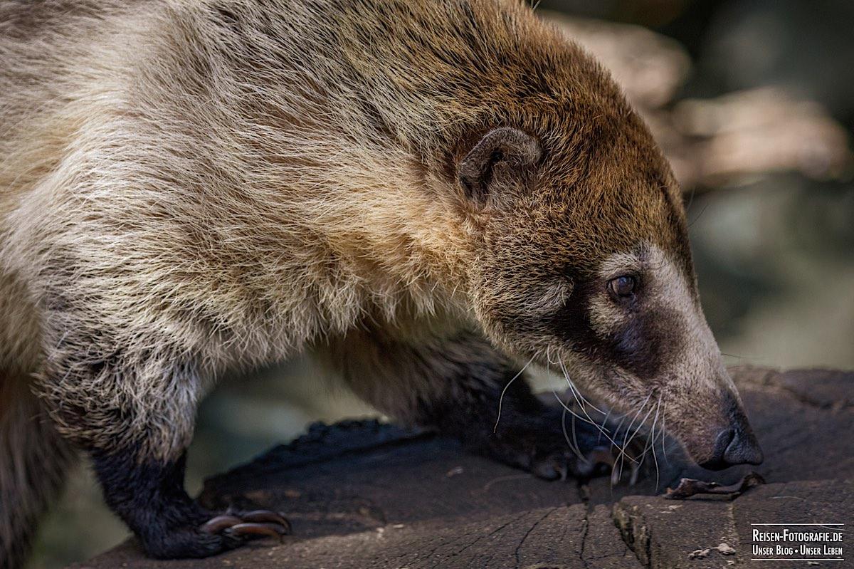 Tierpark Nordhorn - Nasenbär