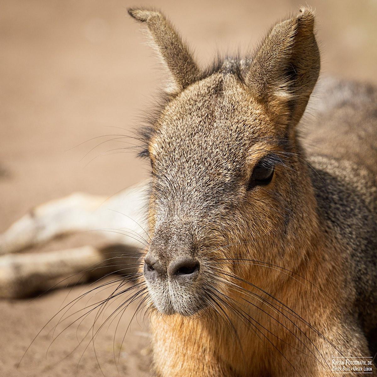 Tierpark Nordhorn - Großer Mara