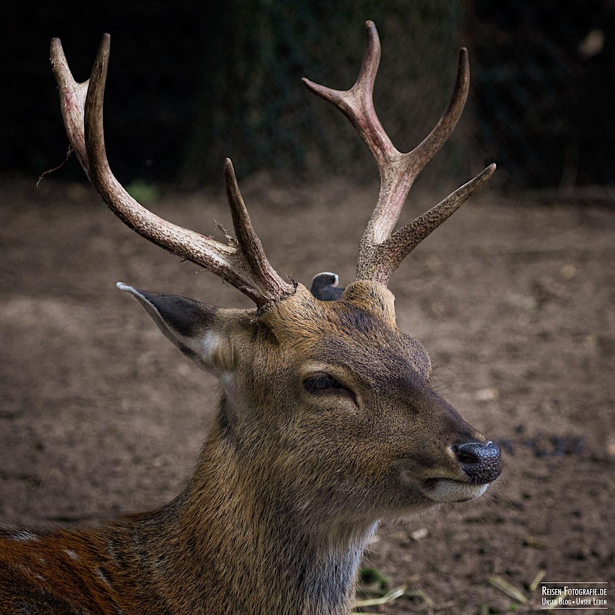 Tierpark Nordhorn - Hirsch