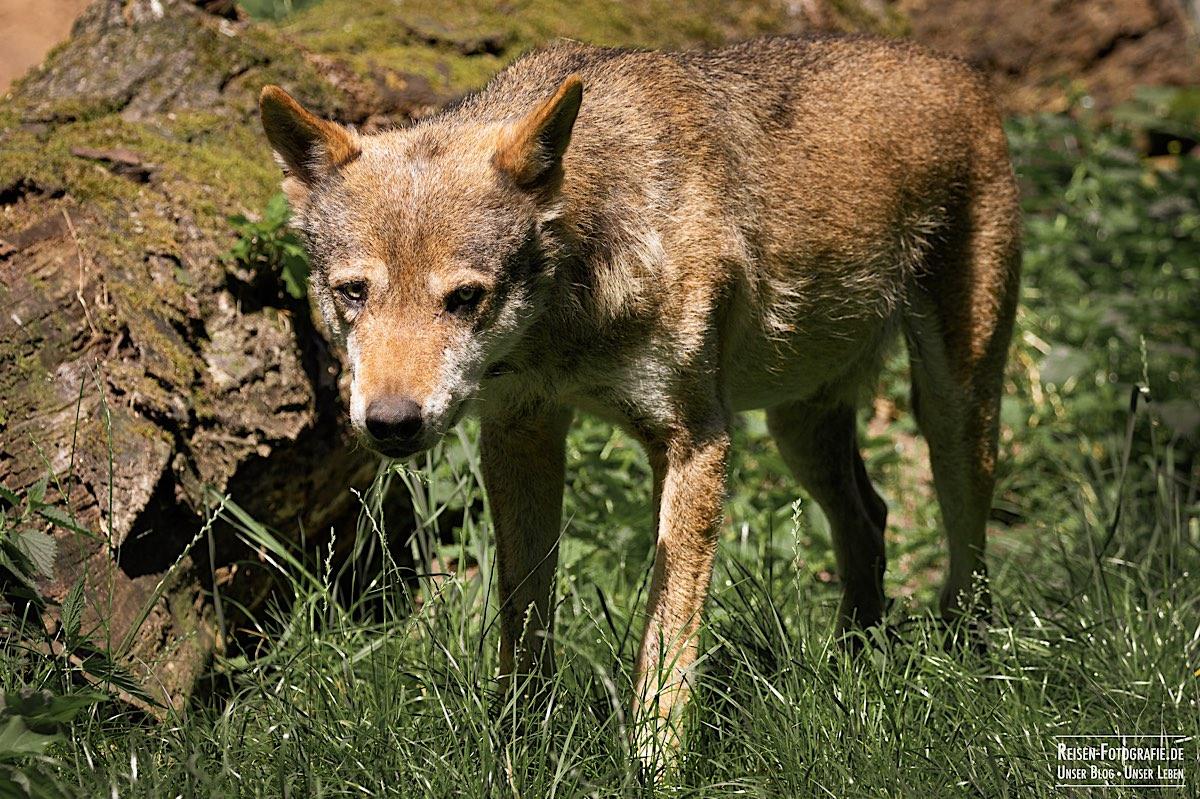 Tierpark Nordhorn - Wolf