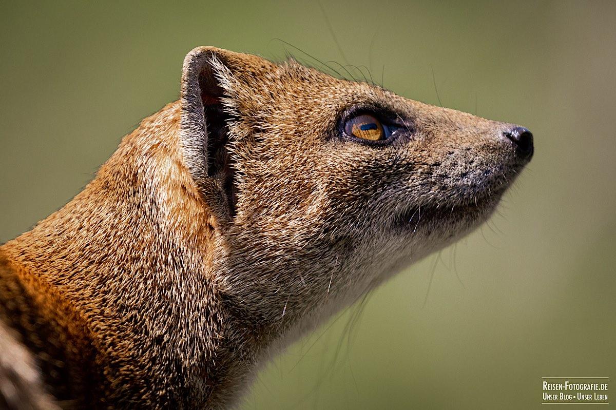 Tierpark Nordhorn - Fuchsmanguste