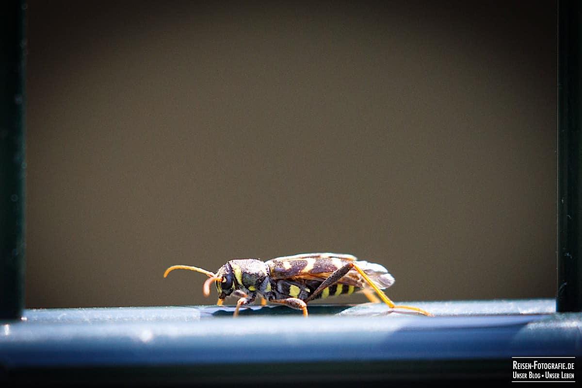 Wespe im Tierpark Kleve