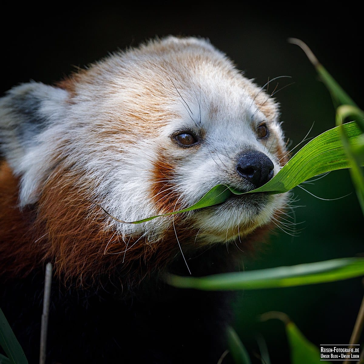 Roter Panda im Tierpark Kleve