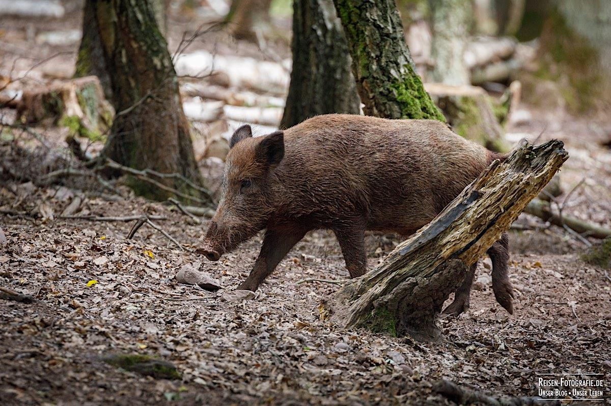 Wildschwein in Mechernich