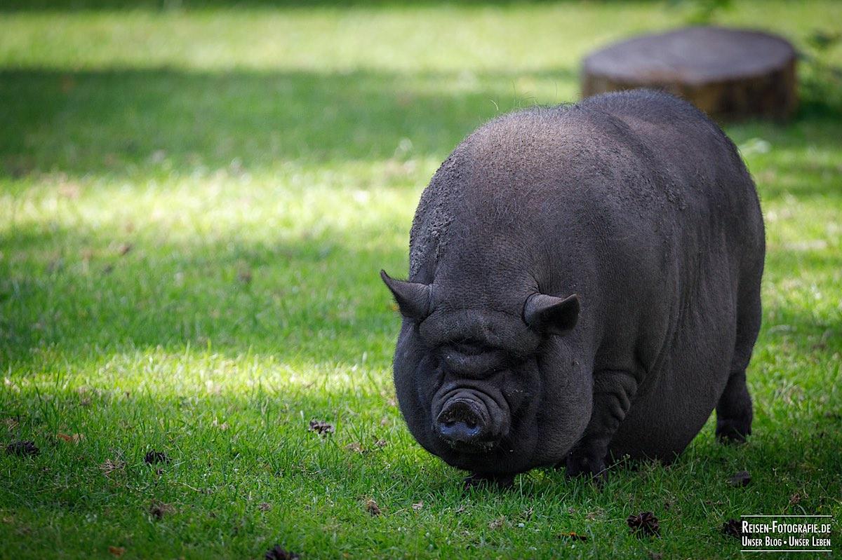 Schwein im Naturwildpark Granat