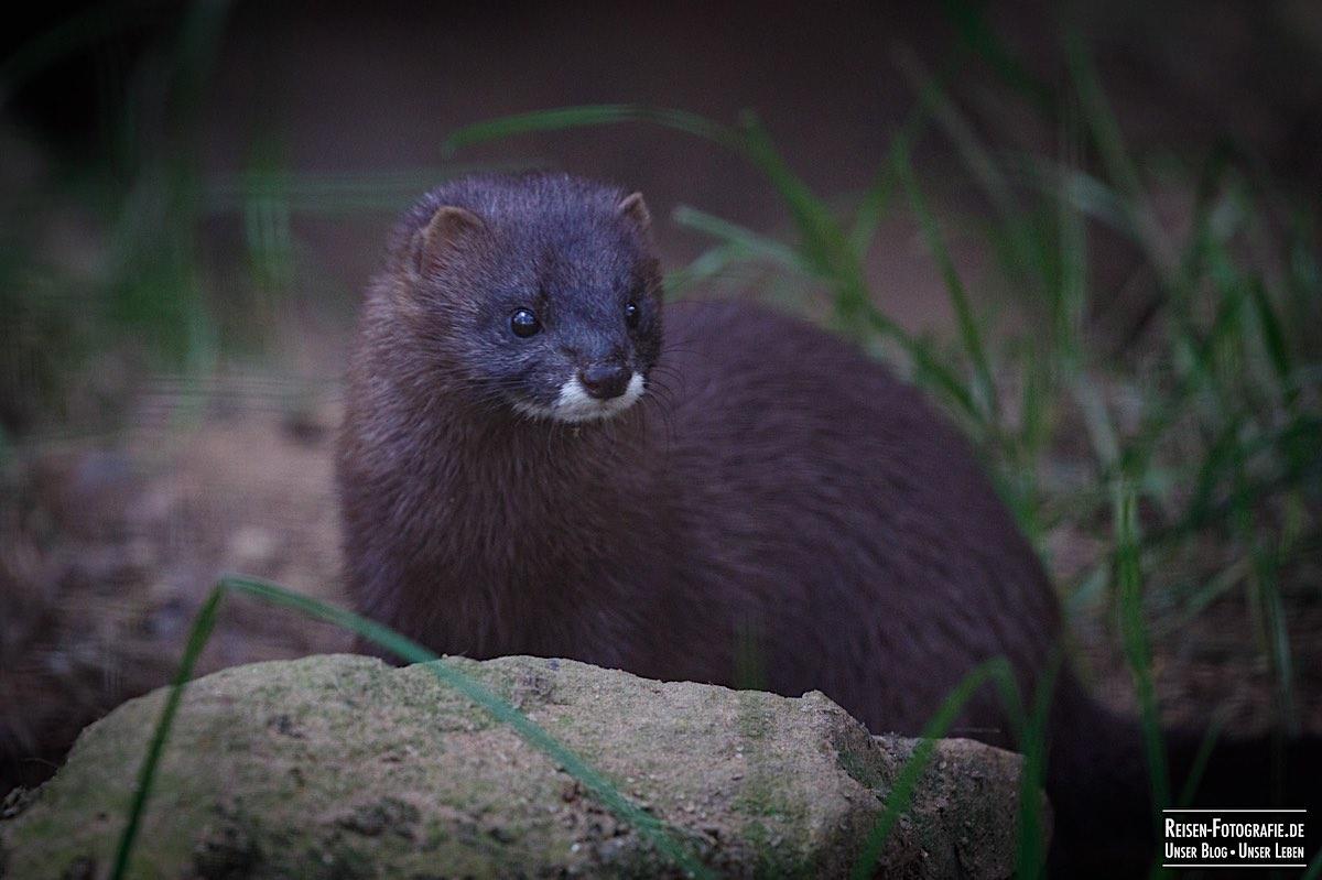 Otter im Naturwildpark Granat