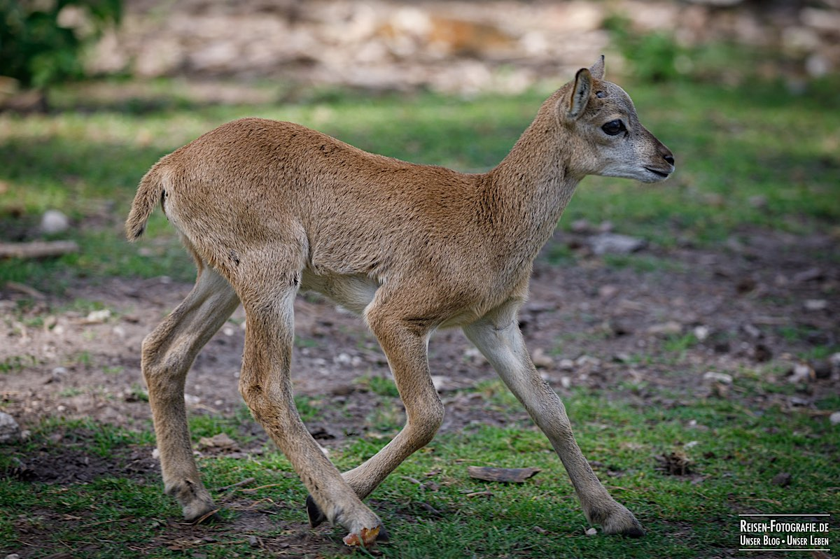 Rotwild im Naturwildpark Granat