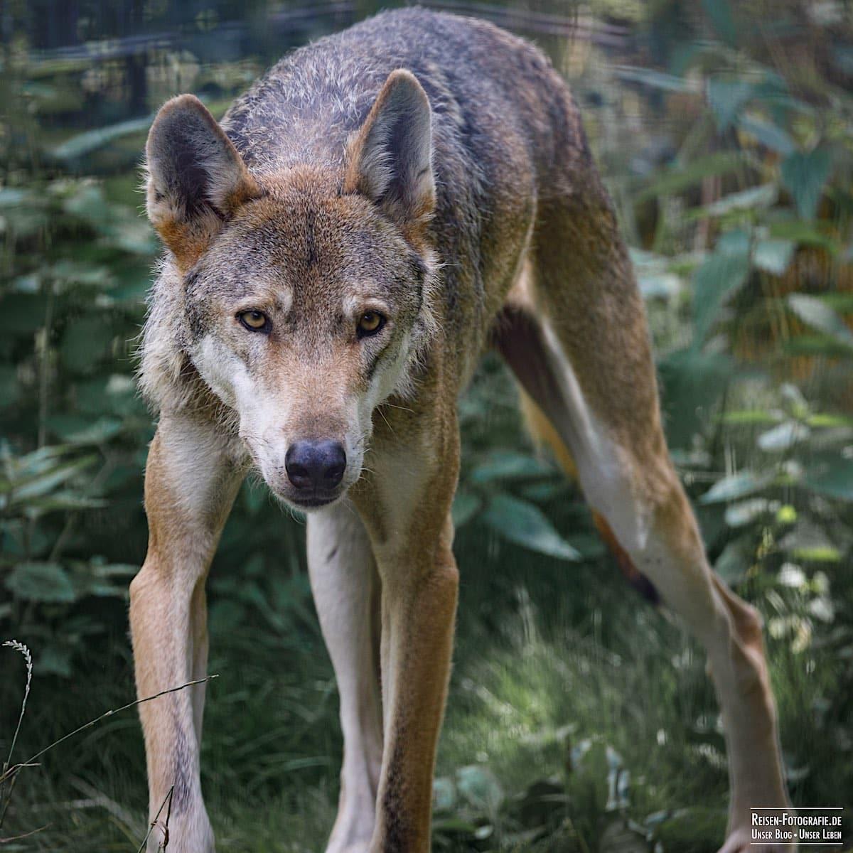 Wolf im Naturwildpark Granat